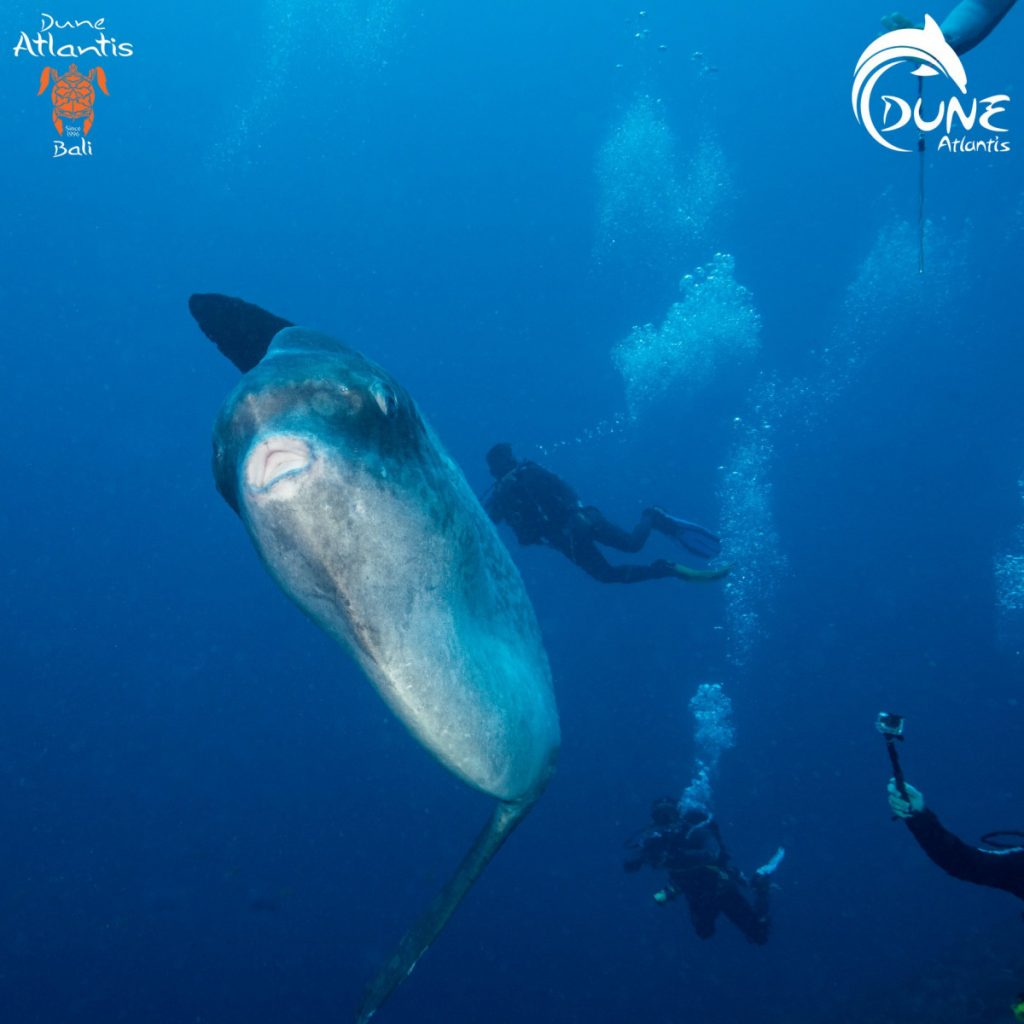 What Can You Do on A Mola Mola Season Bali